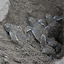 Newly hatched turtles