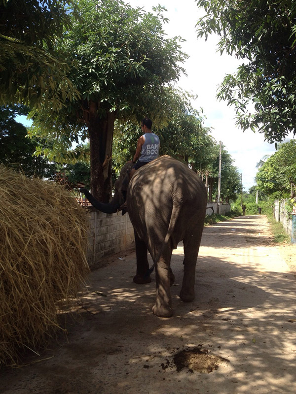 A volunteer riding an elephant in Thailand
