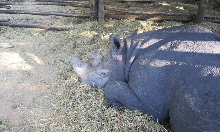 Rhino sleeping in a pen in Zimbabwe