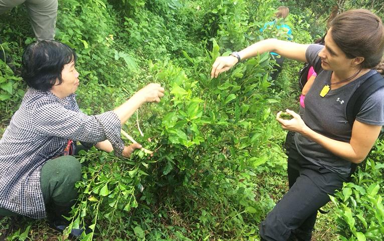 Picking tea leaves in Baan Mae Mae village, Thailand