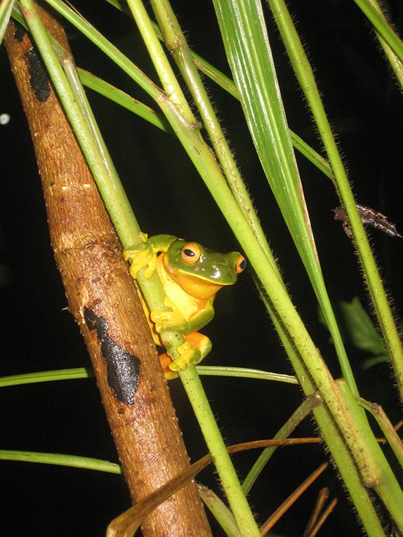An Australian tree frog