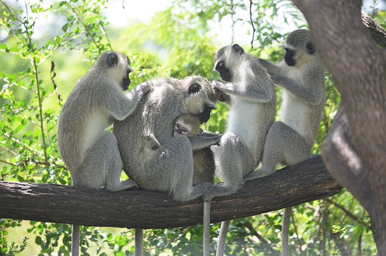 Orphaned Vervet Monkey being groomed by her new family