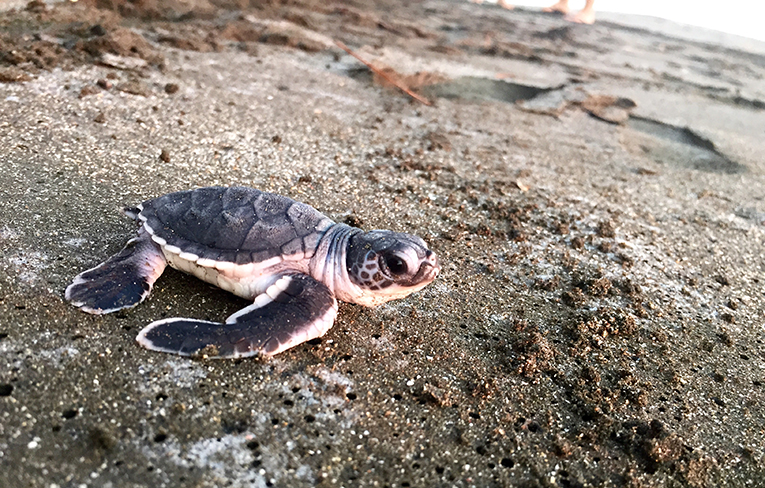 Baby black sea turtle in Costa Rica