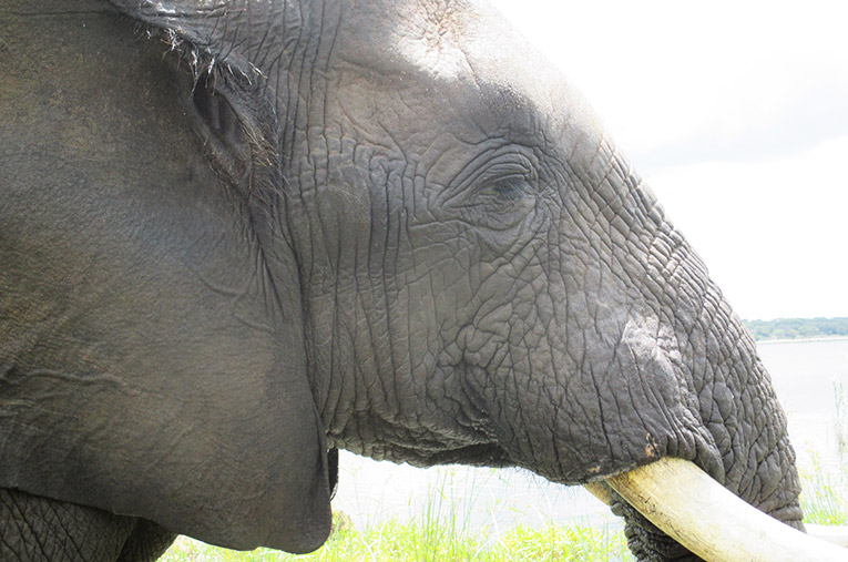 Profile of an Elephant