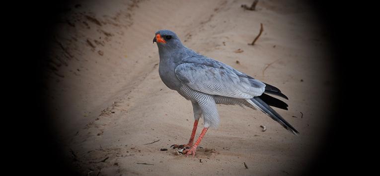 Close up of a Southern Pale Chanting Goshawk in Botswana