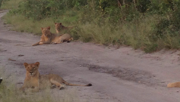 Lions at Chobe National Park in Botswana