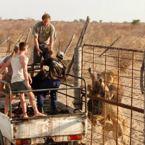 Feeding Lions at Modisa