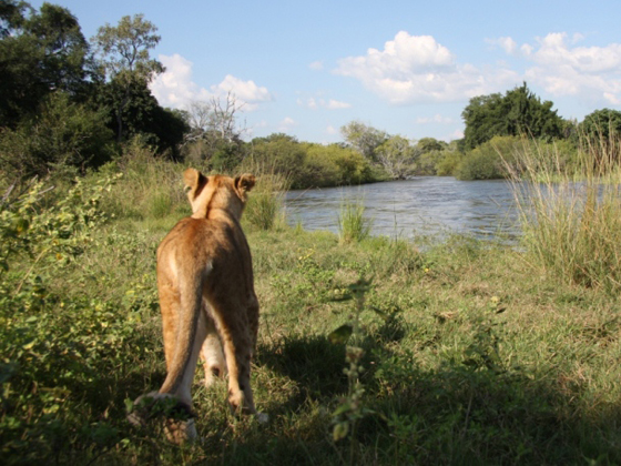 A lioness going to the riverside