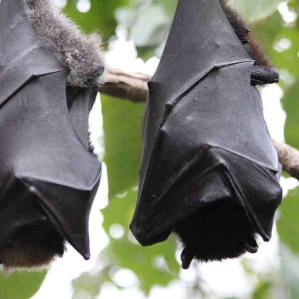 Bat Rehabilitation Project in Australia with Love Volunteers!
