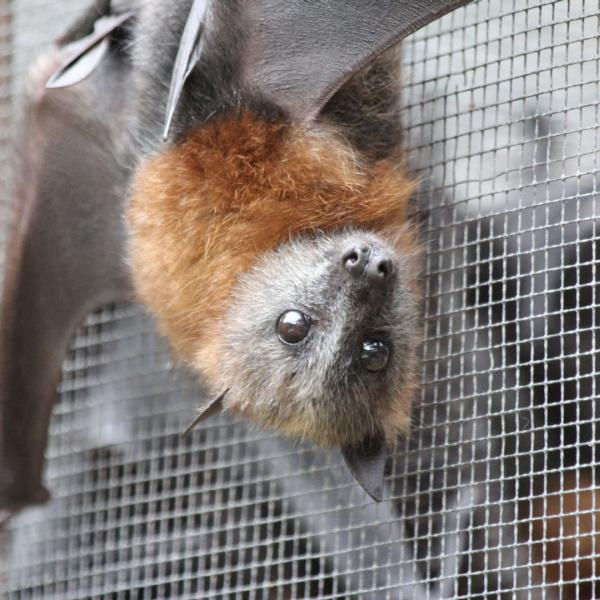 Bat Rehabilitation Project in Australia with Love Volunteers!
