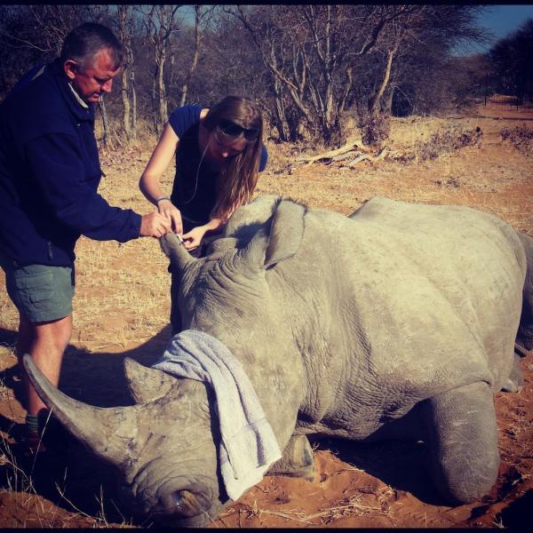 Taking Blood Sample from Rhino