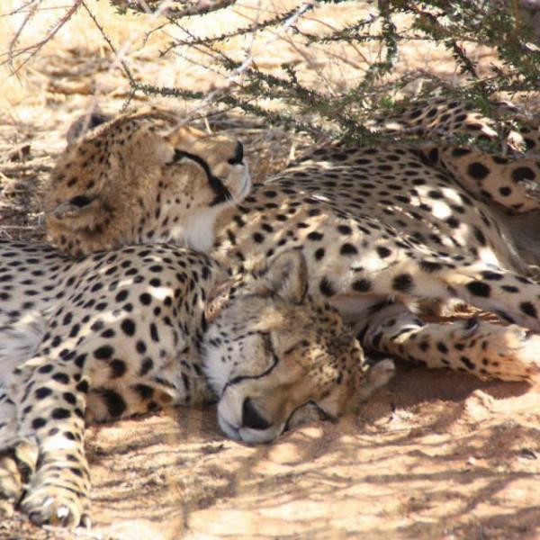 Collared cheetah Namibia