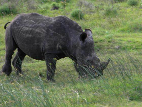 a black rhinoceros