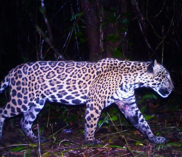 Jaguar caught on camera trap