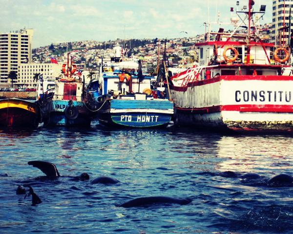 Seals in Valparaiso - Intern in Chile - Adelante Abroad