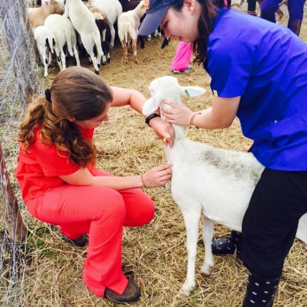 students work with sheep on a farm