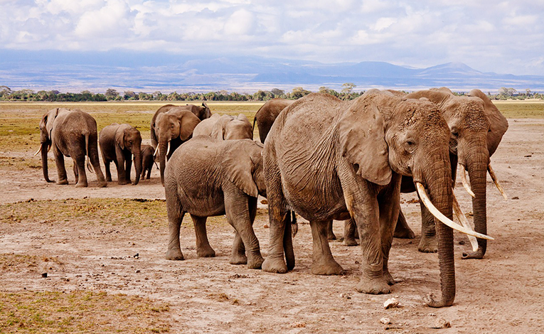 Elephants at a safari in Kenya