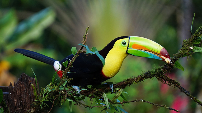 Keel billed toucan in the Costa Rican rainforest