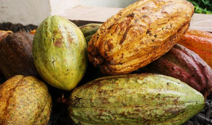 Freshly picked cocoa from Cameroon