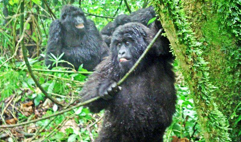 young gorillas in Africa