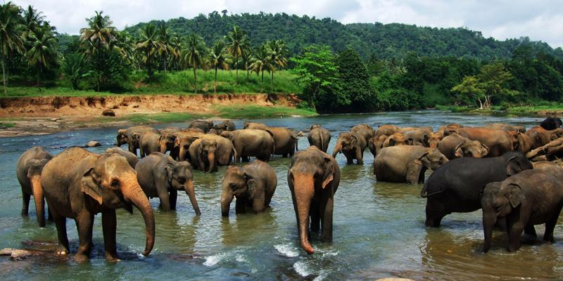 View this amazing sight of elephants gathering together in Pinnewala, Sri Lanka.