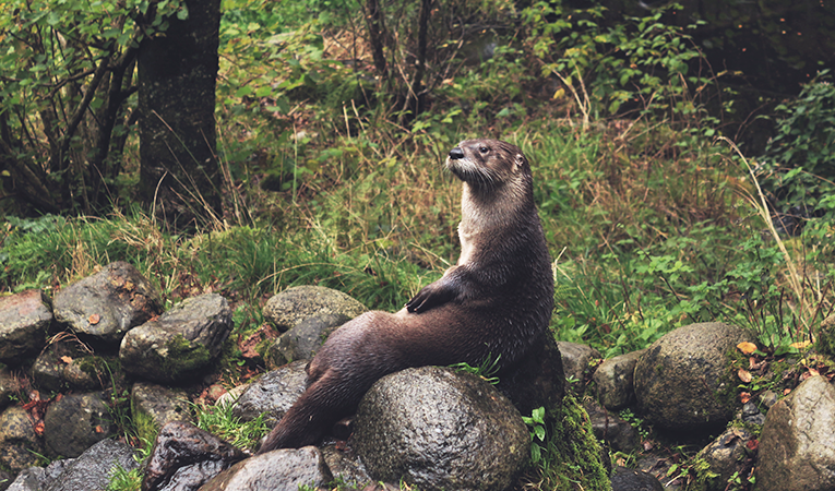 Otter lounging on a rock
