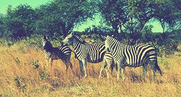 Zebras in Zimbabwe