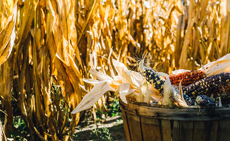 Basket of colored corn with corn husks