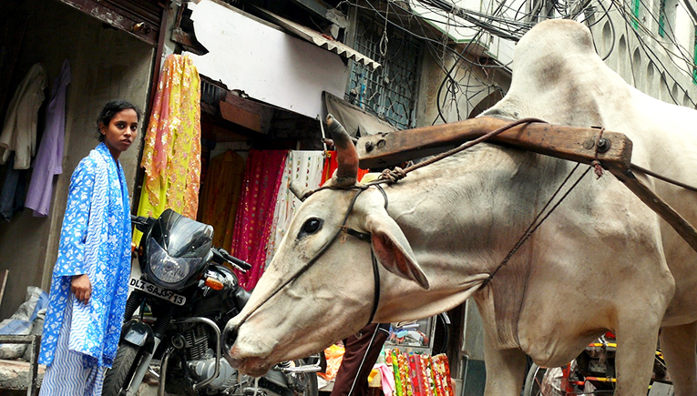 A cow in the streets of New Delhi