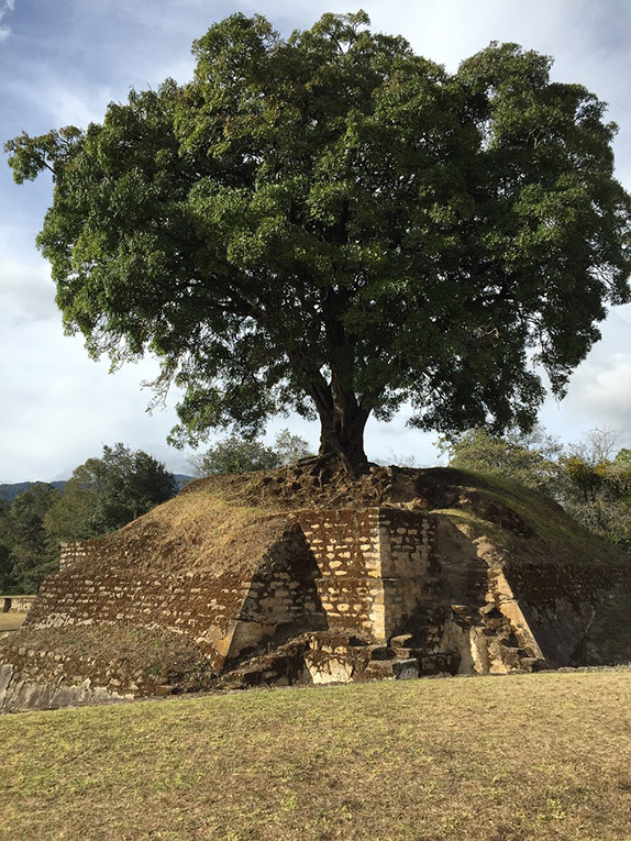 A tree on top of a Maya ruin