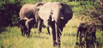 Elephants are a common sight in the African wilderness of Nigeria