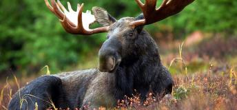 Canadian moose lying in a meadow