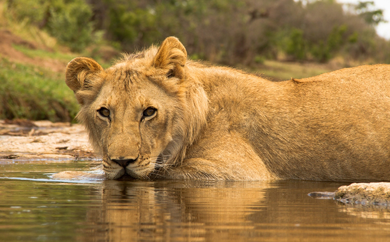 Lion wading through a river in Zimbabwe